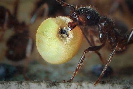 раціон харчування мурах