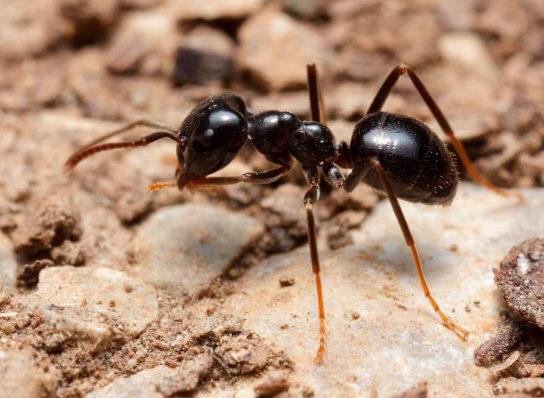 Чорна садова мурашка - фотографія