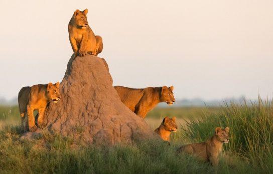 опис африканського лева