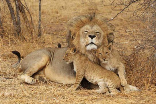 Африканський лев і дитинчата
