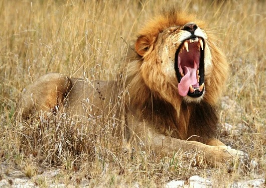 спосіб життя африканського лева