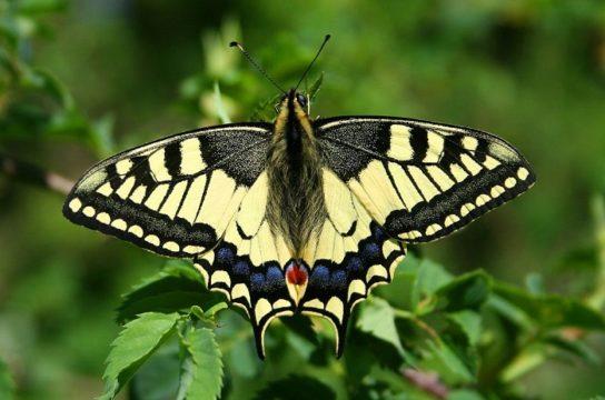 Метелик Махаон – фото і опис, як виглядає, скільки живе і чим харчується