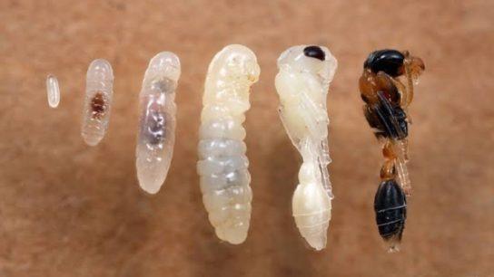 розмноження мурах
