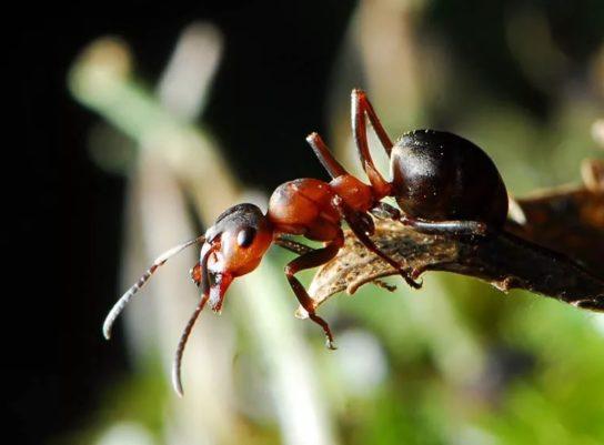 Малий лісової мураха