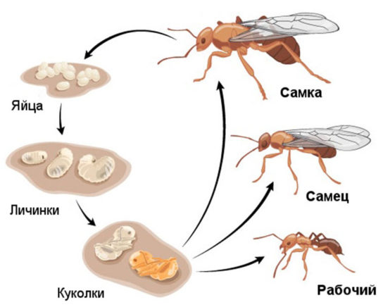 Життєвий цикл мурах