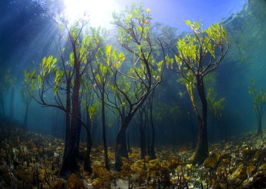 Новий мангровий ліс