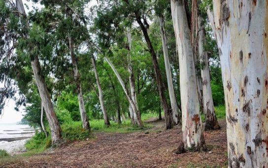 Евкаліптові ліси – зона евкаліптових лісів, на якому материку зустрічаються, рослини та фото
