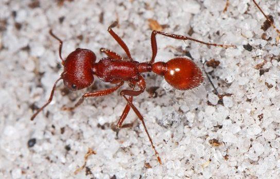 Криваво-червоний мураха