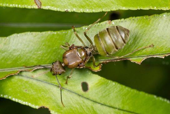 Азіатський мураха-кравець