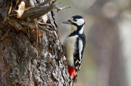 Дятел великий строкатий (або строкатий дятел) – фото і опис птиці, чим харчується, цікаві факти
