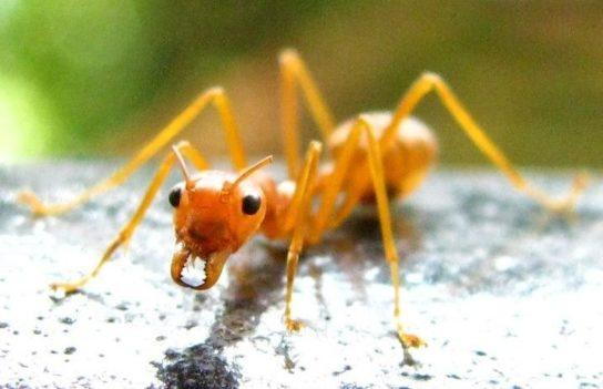 Жовтий мураха-амазонка