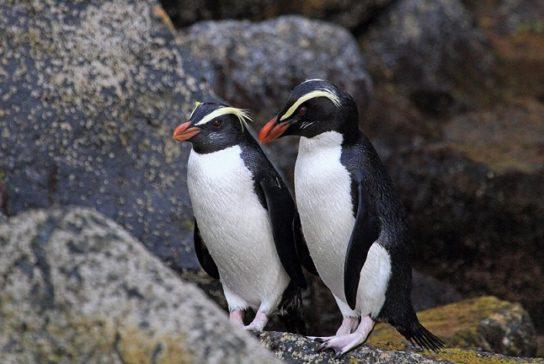 Пінгвіни - види з фото і назвами, опис, зовнішній вигляд, породи |  різновиди пінгвінов3