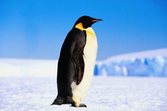 Пінгвіни – види з фото і назвами, опис, зовнішній вигляд, породи | різновиди пінгвінів