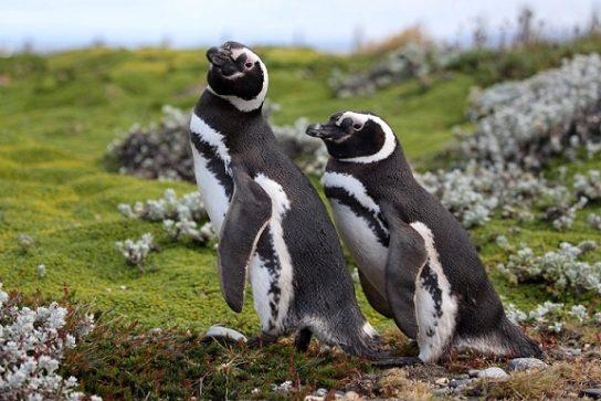 Магелланова пінгвін