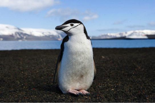 Антарктичний пінгвін