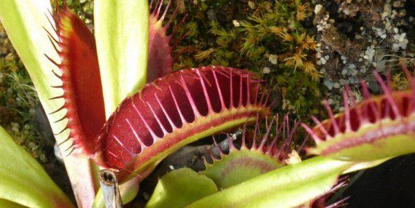 Рослини хижаки – 5 хижих рослин, які можна виростити вдома