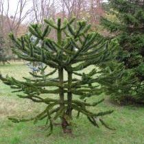 Араукарія чилійська (Araucaria araucana)