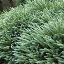 Криптомерія японська (Cryptomeria japonica)