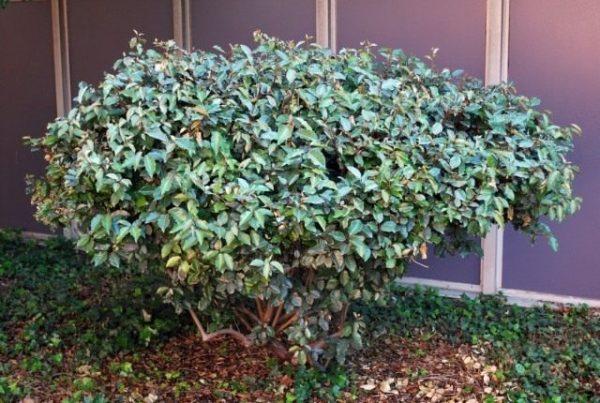 Вічнозелені рослини для саду
