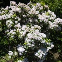 Кальмія широколистная (Kalmia latifolia)