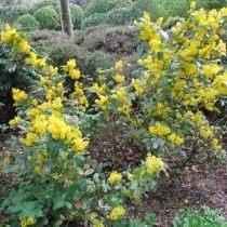 Барбарис падуболистная (Berberis aquifolium), або Магонія падуболистная (Mahonia aquifolium)