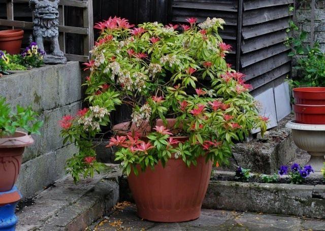 Пієріс японський (Pieris japonica)