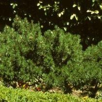 Сосна гірська, або сосна гірська (Pinus mugo)