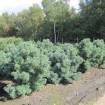 Cосна дрібноквіткова «Schoon's Bonsai» (Pinus parviflora)
