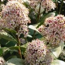 Скіммія японська (Skimmia japonica)