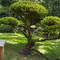 Тис ягідний «Dovastonii Aurea» (Taxus baccata)