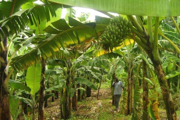 На чому ростуть банани?